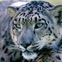 Il leopardo delle nevi non rischia più l'estinzione. Ma è allarme per