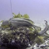 Octlantis, scoperta in Australia la città sommersa dei polpi