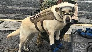 Frida: il cane eroe ha salvato 52 persone sotto le macerie
