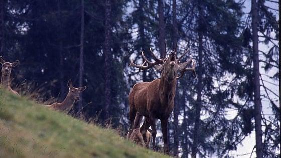 Trentino. I giorni dell'accoppiamento dei cervi