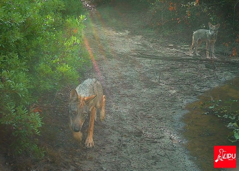 Cuccioli di lupo a Castel di Guido, entusiasmo per la prima riproduzione a Roma dopo un secolo di assenza