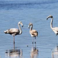Sorpresa: sette fenicotteri rosa stazionano al lago Trasimeno