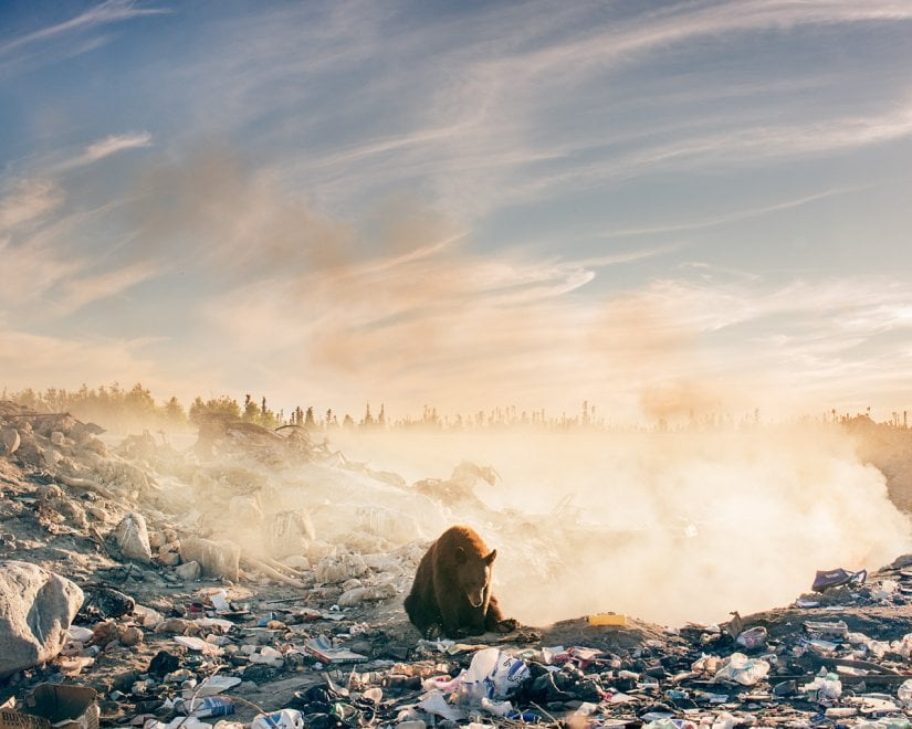 Canada, l'orso sperduto tra i rifiuti: lo scatto simbolo della natura contaminata