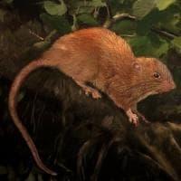 Scoperta una nuova specie di ratto gigante nelle Isole Salomone