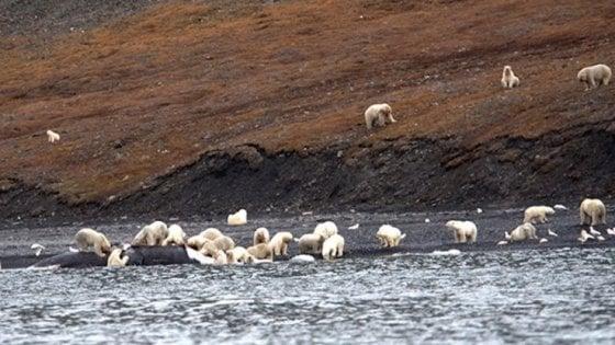 """L'incredibile banchetto degli orsi polari. """"Erano centinaia, simbolo di speranza"""""""
