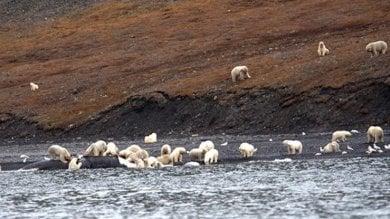 L'incredibile banchetto degli orsi polari.