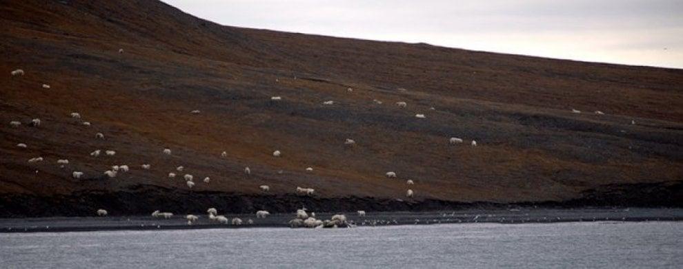 Siberia, gli orsi polari si spartiscono la balena