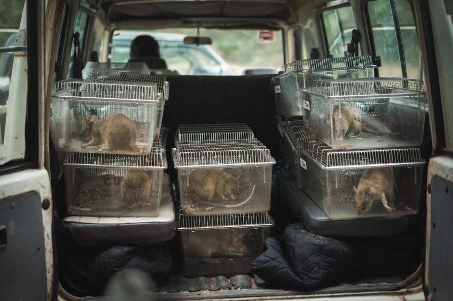Ecco i topi eroi che salvano la Cambogia dall'incubo mine