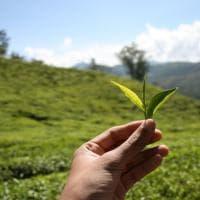 Ecco come si produce il tè nero