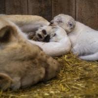 Francia, quattro leoni bianchi nascono in cattività