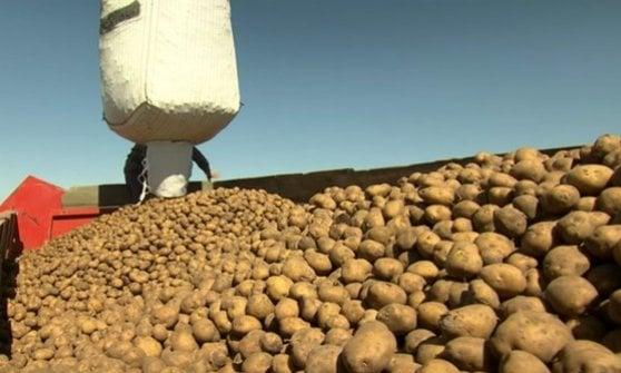 La patata Amflora