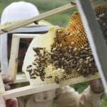 Miele in tilt, gli apicoltori: