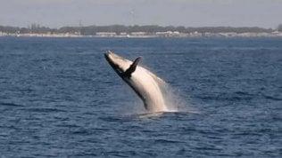 Cucciolo di balena difende la madre: i salti sono spettacolari