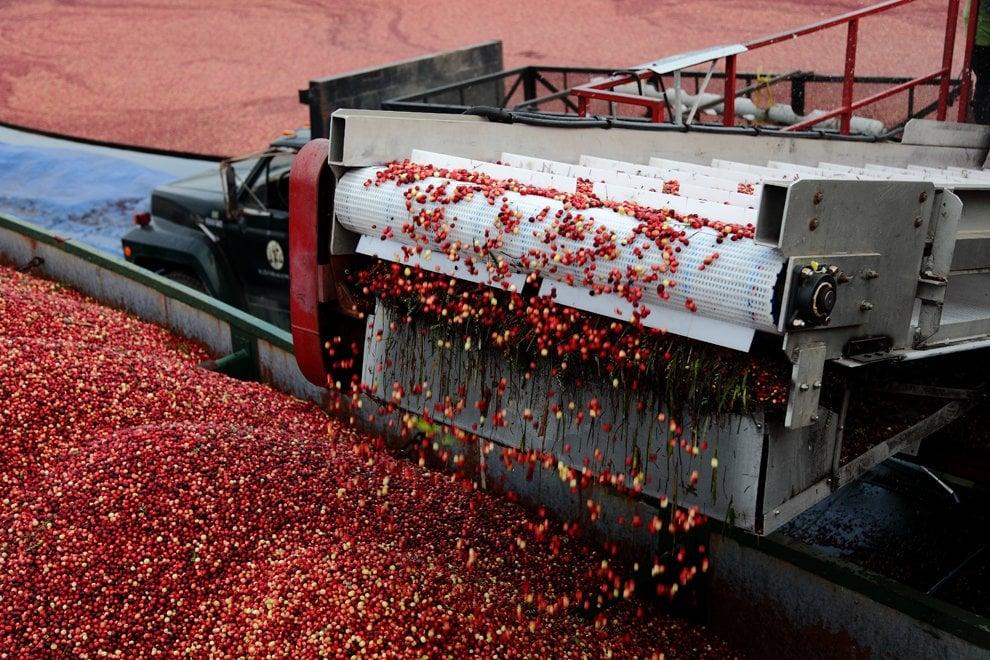 L'oro rosso del Nord America, il raccolto del cranberry è una festa