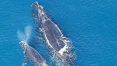 Trovati fossili di balena