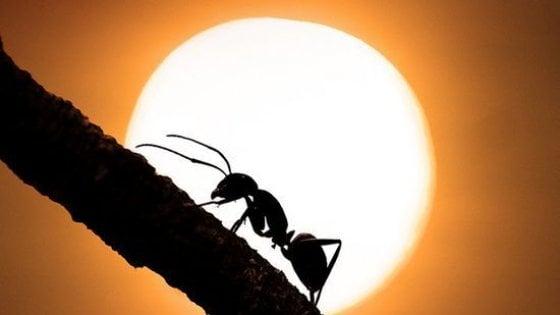 Formiche, la regina seppellisce le compagne: la società egualitaria degli insetti