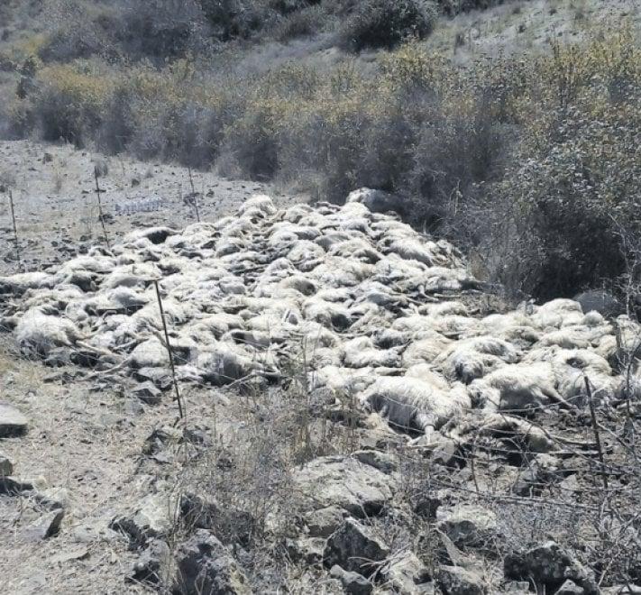 Sardegna, pastore non riesce a vendere il latte: uccide le sue 135 pecore e 4 cani