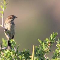 Il passero che viene dalla Mongolia: avvistamento eccezionale a Linosa