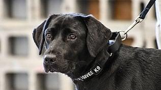Lulu, il cane 'licenziato' dalla Cia:non vuole più annusare bombe