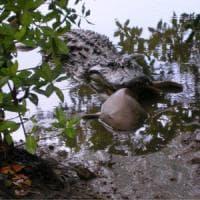 Predatori contro predatori: così gli alligatori mangiano gli squali