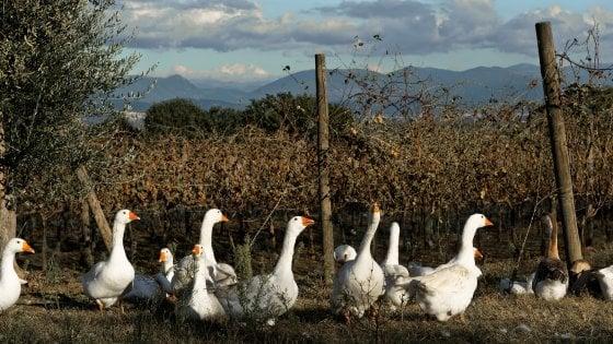 Oche in vigna, polli tra gli ulivi: è tempo dell'agroforestry