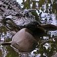 Predatori contro predatori:  l'alligatore mangia lo squalo