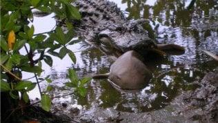 Predatori contro predatori:così l'alligatore divora lo squalo