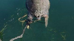 La fine della tartaruga Gaetana. Uccisa e legata a un sasso