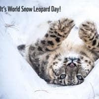 Leopardo delle nevi: ne scompare uno al giorno