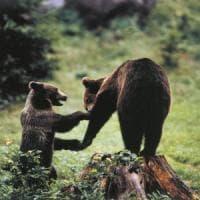 L'orso buono. Il segreto del gigante degli Appennini è scritto nel suo
