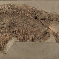 Ittiosauro, scoperto per la prima volta un fossile intatto in India
