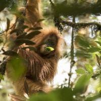 L'Orango di Tapanuli, nuova specie scoperta in Indonesia