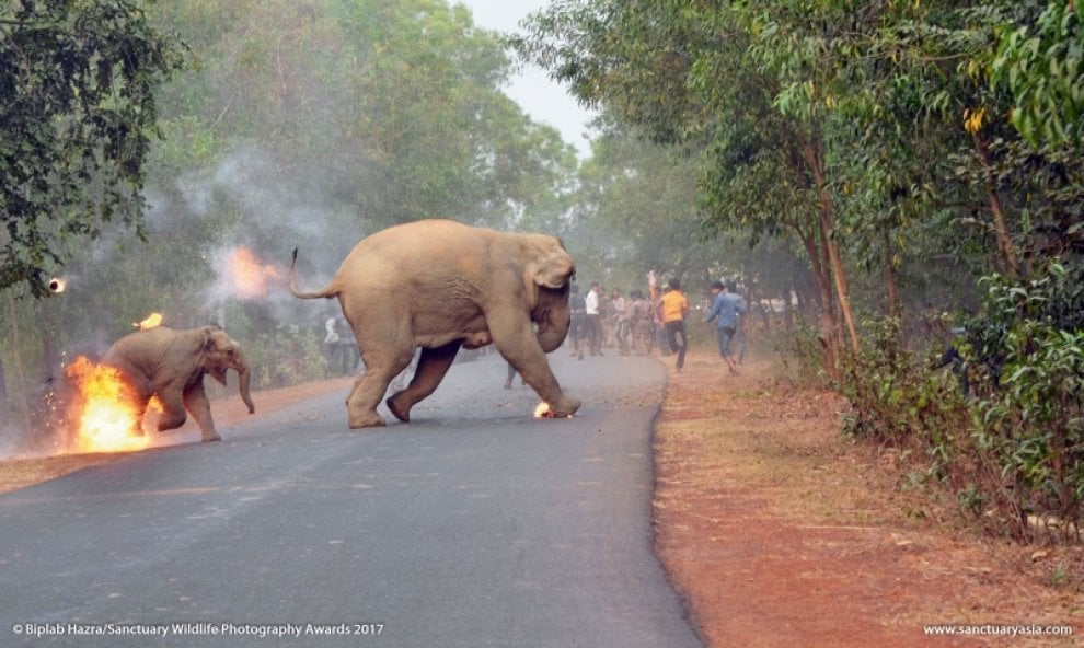 India, l'elefante in fiamme vince il Sanctuary Wildlife Photography Awards