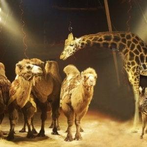 """Via libera della Camera al """"graduale superamento"""" della presenza degli animali in circhi e spettacoli viaggianti"""