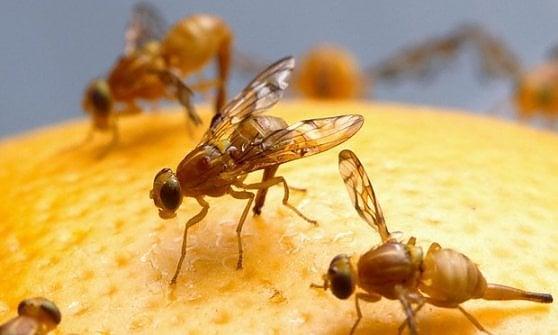 I motori di ricerca del futuro? Funzioneranno come il cervello dei moscerini della frutta