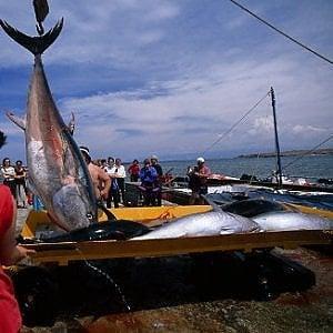Allarme del Wwf: a rischio gli sforzi per salvare il tonno rosso
