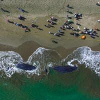 Indonesia, capodogli spiaggiati  sull'isola di Sumatra: le immagini dei soccorsi