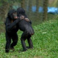 L'innata gentilezza dei bonobo: sono altruisti anche con gli sconosciuti