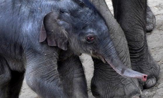Trofei da caccia all'elefante, Trump sconfessa Obama: sì all'import