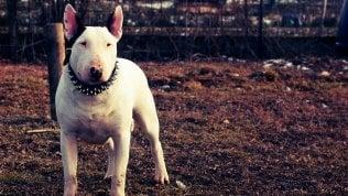 Il bull terrier che ha ucciso Davide Lobue