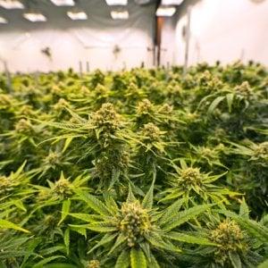 Cannabis terapeutica, per il dolore cronico le evidenze sono ancora scarse
