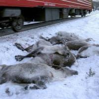 Strage di renne in Norvegia: oltre cento travolte da treni