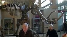 All'asta un mammut di 15mila anni da mezzo milione di euro   ·video