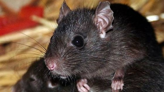 New York, tra Manhattan e i bassifondi i ratti sono diversi: questione di Dna