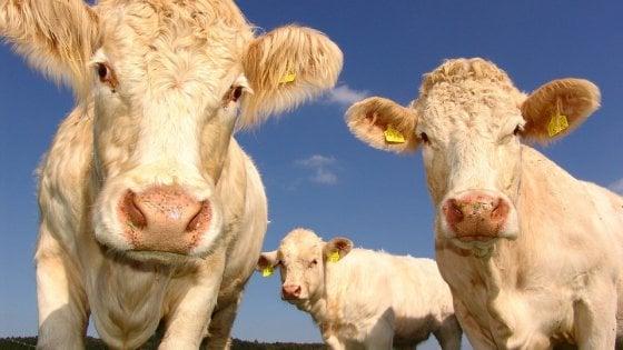 Allevamento sostenibile con una bistecca a settimana