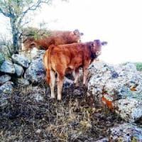 Giordania,  l'allevamento dei piccoli ruminanti per ridurre la povertà