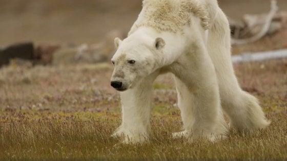 Lo straziante video dell 39 orso polare che muore di fame l for Affittare una cabina grande orso