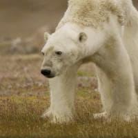 """Lo straziante video dell'orso polare che muore di fame: """"L'ho ripreso per smuovere le..."""