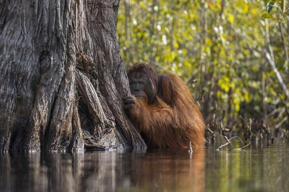 National Geographic, l'orango del Borneo protagonista del 2017