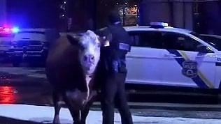 Bue scappa dal presepe vivente: il rodeo della polizia in strada
